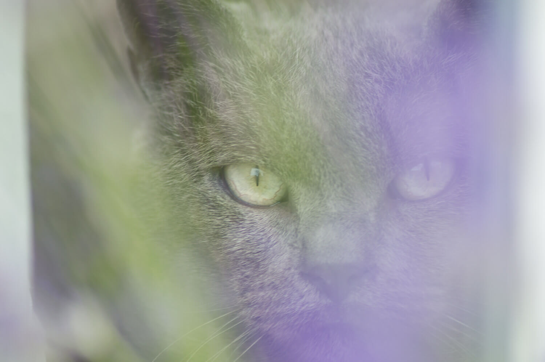 chat caché derrière la lavande