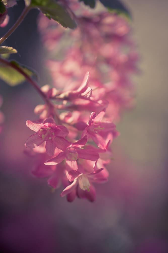 macro d'une grappe de fleur de groseiller