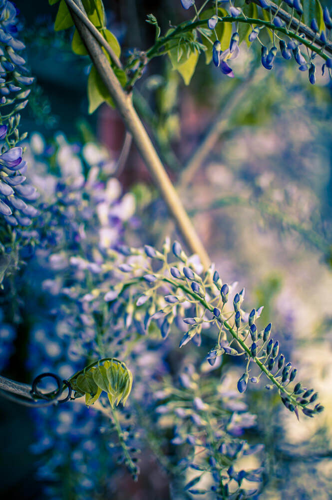 foison de fleur de glycine