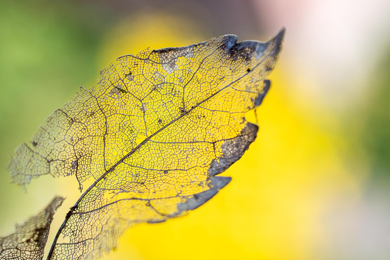 transparence à travers les nervures d'une feuille