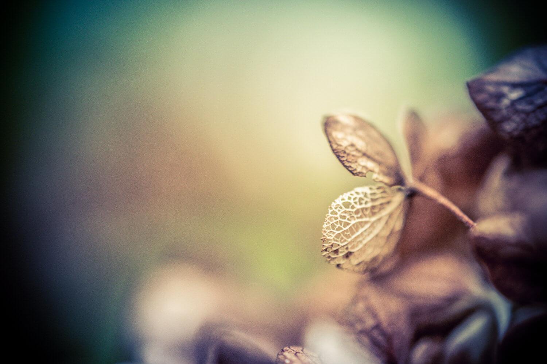 pastel d'hortensia