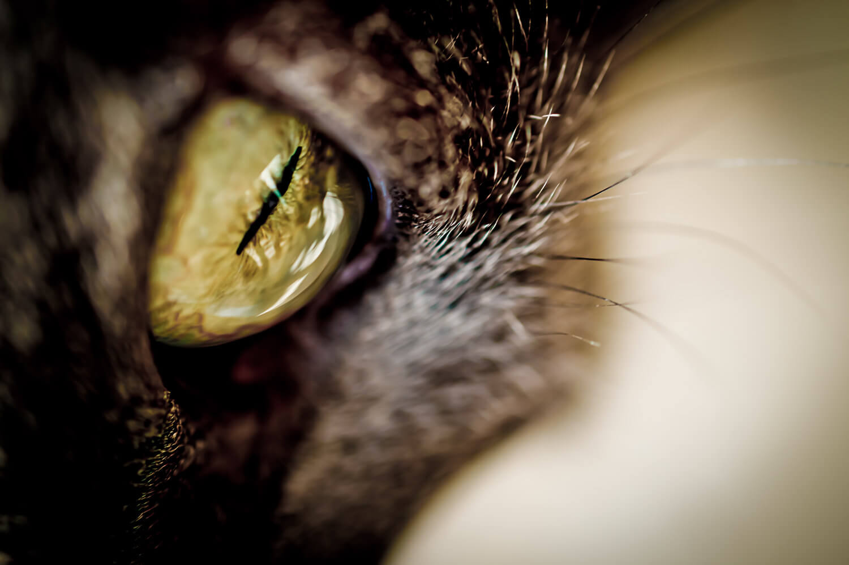 macro oeil de chat