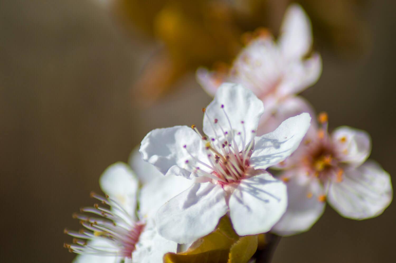 fleurs de prunus en macro
