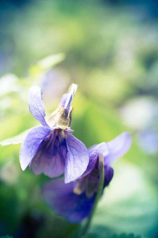 pastel de violettes