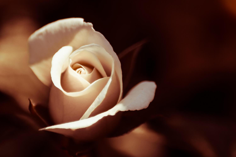 rose façon Rembrandt